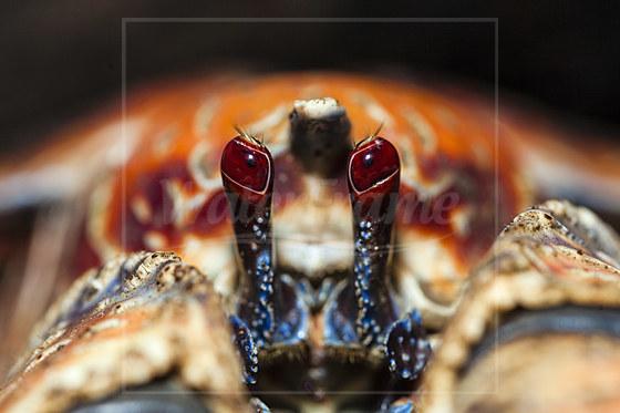 Stielaugen von Palmendieb / Stalked Eyes of Robber Crab / Birgus latro