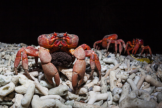Weihnachtsinsel-Krabbe wandert zum ablaichen / Christmas Island Red Crab migrate for spawning / Gecarcoidea natalis