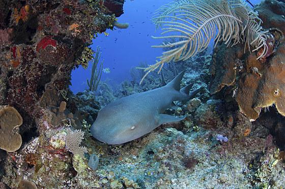 Atlantischer Ammenhai / Nurse Shark / Ginglymostoma cirratum