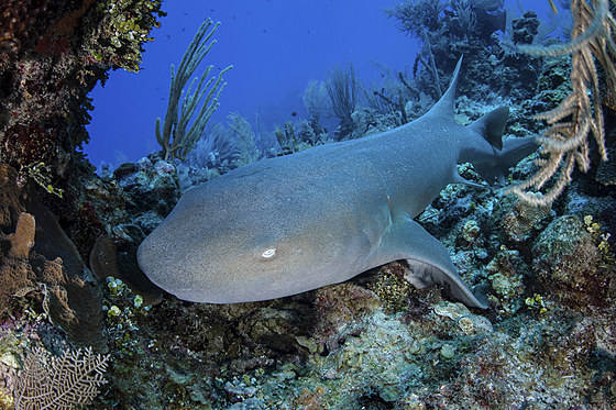 Atlantischer Ammenhai / Nurse Shark / Ginglymostoma cirratum