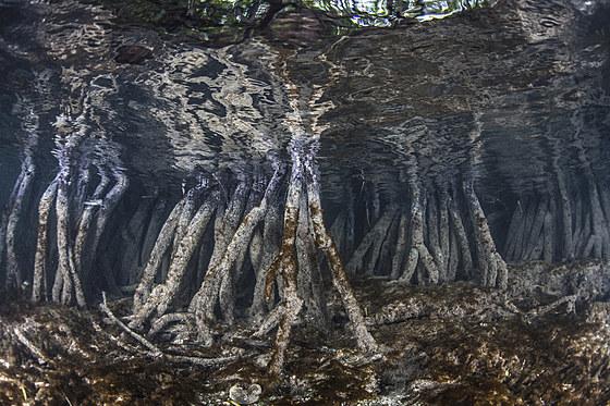 Oekosystem Mangroven / Ecosystem Mangroves / Rhizophora