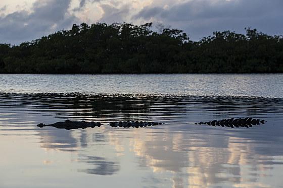 Spitzkrokodil / American Crocodile / Crocodylus acutus