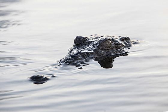 Spitzkrokodil / Head of American Crocodile / Crocodylus acutus
