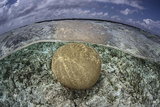 Runde Hirnkoralle / Round Brain Coral / Colpophyllia natans