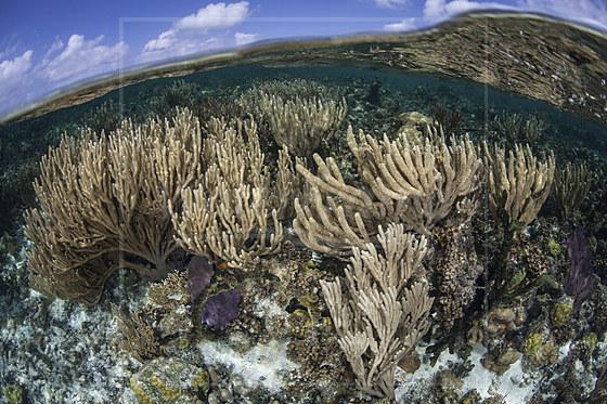 Karibisches Riff mit Strauchgorgonie / Caribbean Coral Reef with Sea Rod / Pseudoplexaura porosa