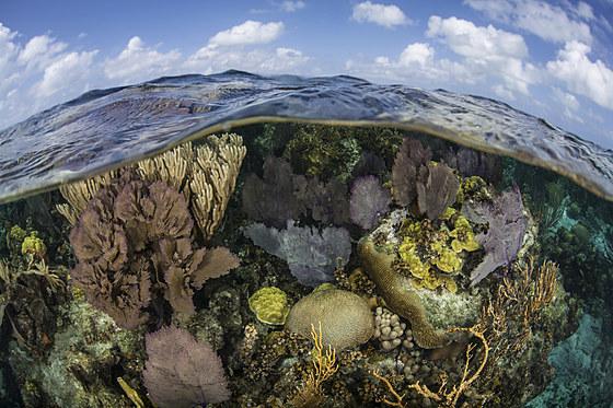 Karibisches Korallenriff / Caribbean Coral Reef