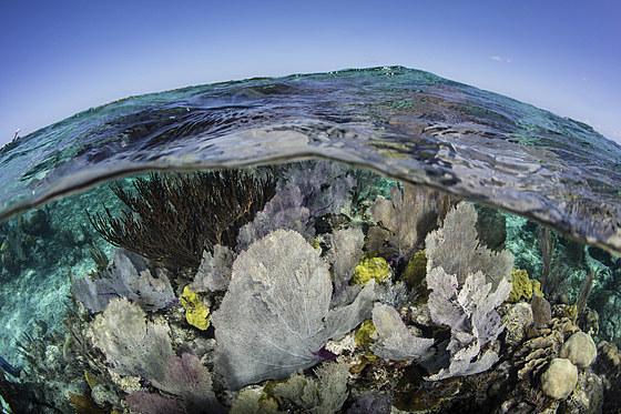 Karibisches Riff mit Venus Seefaechern / Caribbean Coral Reef with Venus Sea Fan / Gorgonia ventalina