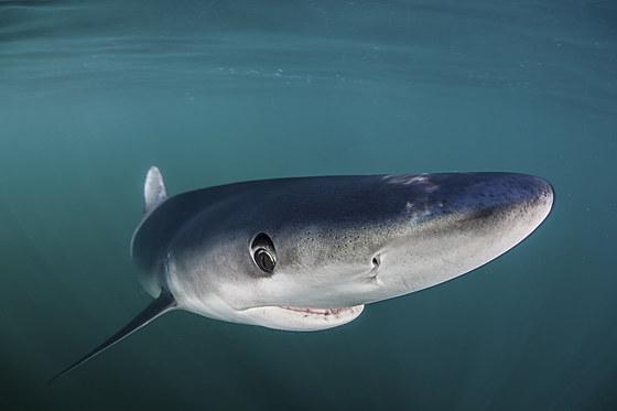 Blauhai / Blue Shark / Prionace glauca