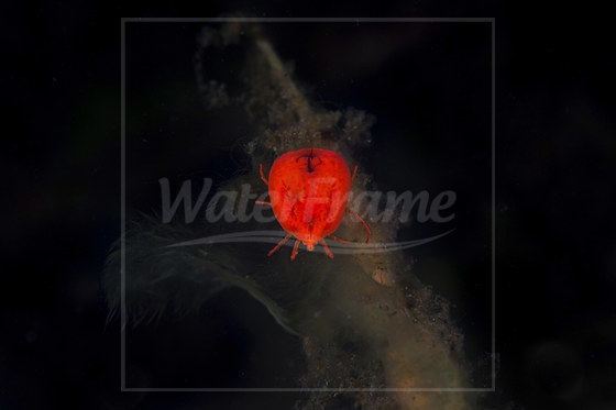 Wassermilbe / Water Mite / Hydracarina