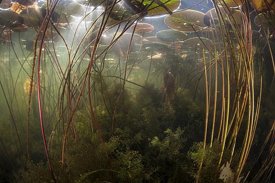 Stengel und Blaetter von Seerosen in See / Stalk and Leafs of Water Lily / Nymphaea