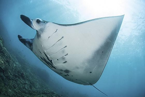 Riff-Manta / Reef Manta Ray / Manta alfredi