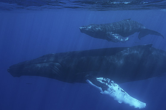 Buckelwal Mutter und Kalb / Humpback Whale Mother and Calf / Megaptera novaeangliae