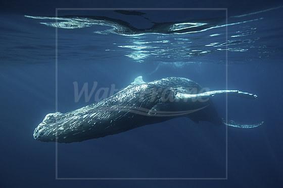 Buckelwal / Humpback Whale / Megaptera novaeangliae