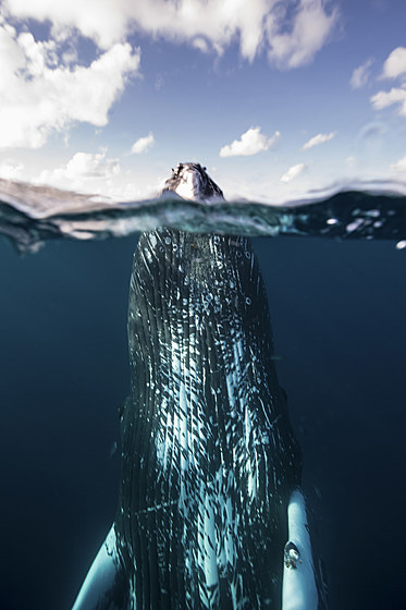 Buckelwal / Spyhopping Humpback Whale / Megaptera novaeangliae
