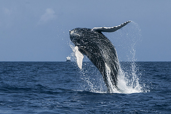 Springender Buckelwal / Breaching Humpback Whale / Megaptera novaeangliae