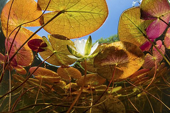 Seerosenteich / Lily Pond / Nymphaea