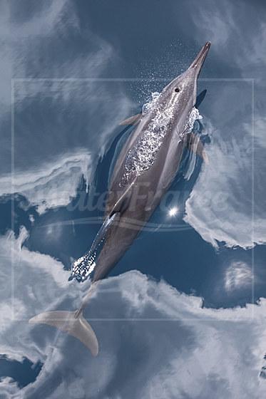 Spinner Delfin / Spinner Dolphin / Stenella longirostris