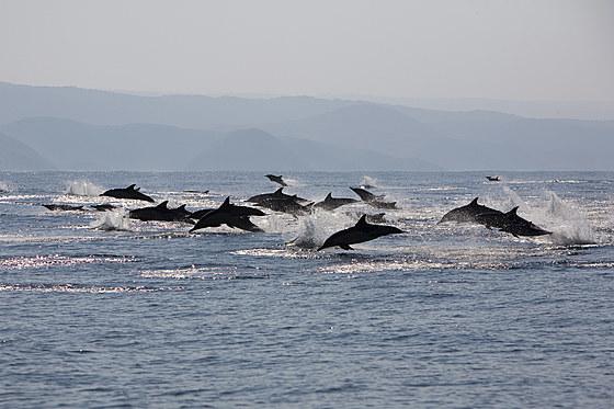 Schule Gemeine Delfine / long-beaked common dolphins / Delphinus capensis