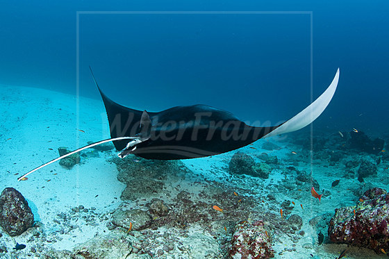 Manta an Putzerstation / Manta Ray on Cleaning Station / Manta alfredi