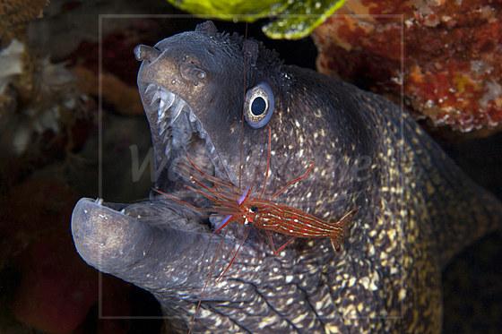 Mittelmeer-Muraene und Putzer-Garnele / Mediterranean Moray Eel with Cleaner Shrimp / Muraena helena