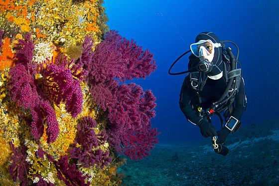 Taucher und farbwechselnde Gorgonien / Variable Gorgonians and Scuba Diver / Paramuricea clavata