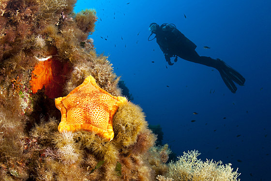 Fuenfeck-Seestern im Riff / Penta Star in Coral Reef / Peltaster placenta