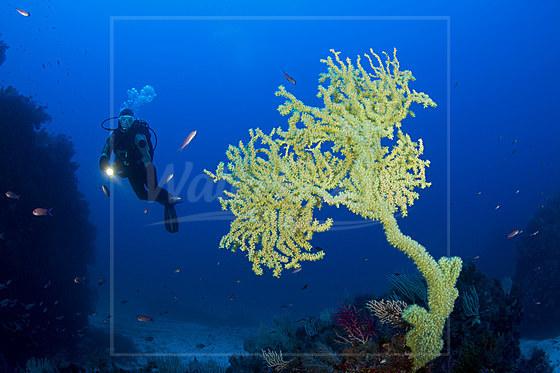 Gelbe Strauchkoralle / Mediterranean Black Coral / Gerardia savaglia