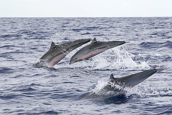Gruppe Fraser Delfine / Group of Frasers Dolphins / Lagenodelphis hosei