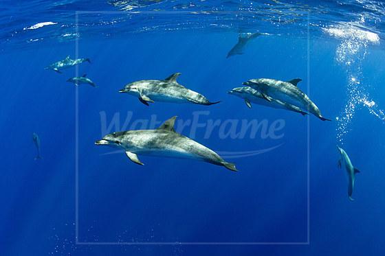 Zuegeldelfine / Atlantic spotted Dolphins / Stenella frontalis