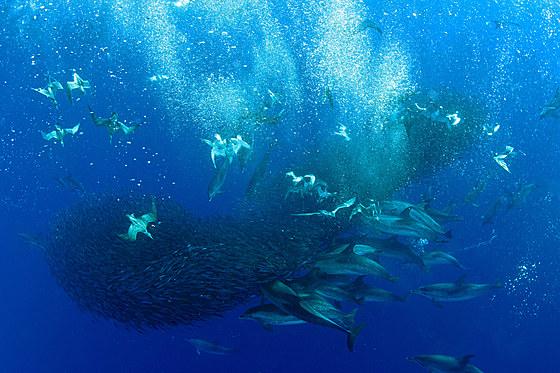Gelbschnabel-Sturmtaucher jagen Makrelen / Corys Shearwaters hunting Mackerels / Calonectris diomedea
