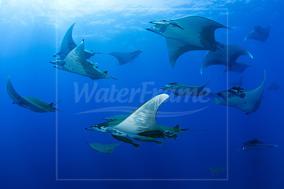 Gruppe Sichelflossen-Teufelsrochen / Group of Sicklefin Devil Ray / Mobula tarapacana