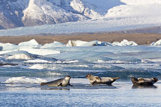 Seehunde in der Joekulsarlon Gletscherlagune / Seals at Joekulsarlon Glacial River Lagoon / Phoca vitulina
