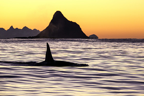 Killerwal an der Oberflaeche / Killer Whale on Water Surface / Orcinus orca