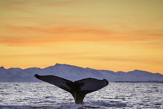 Fluke eines Buckelwal / Fluke of Humpback Whale / Megaptera novaeangliae