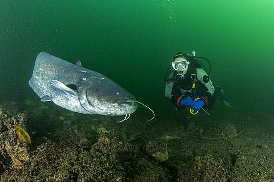 Waller und Taucher / Wels Catfish and Scuba Diver / Silurus glanis