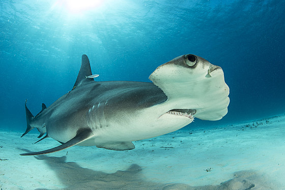 Grosser Hammerhai / Great Hammerhead Shark / Sphyrna mokarran