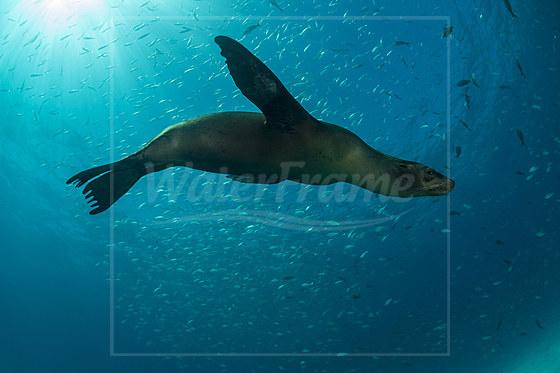 Kalifornischer Seeloewe / California Sea Lion / Zalophus californianus