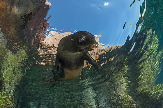 Kalifornischer Seeloewe / California Sea Lion Pup / Zalophus californianus