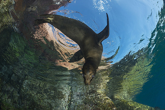 Kalifornischer Seeloewe / California Sea Lion Pup / Zalophus californianus