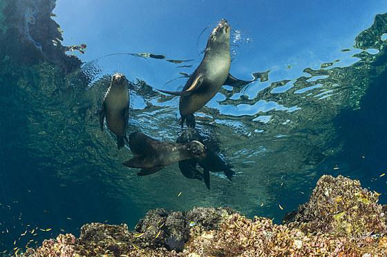 Kalifornische Seeloewen / California Sea Lion / Zalophus californianus