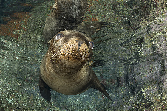 Kalifornischer Seeloewe / California Sea Lion / Zalophus californianus