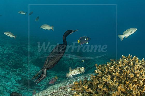 Tauchende Pinselscharbe Kormoran / Brandts Cormorant diving / Phalacrocorax penicillatus