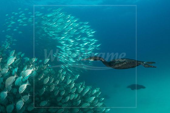 Jagende Pinselscharbe Kormoran / Brandts Cormorant hunting / Phalacrocorax penicillatus