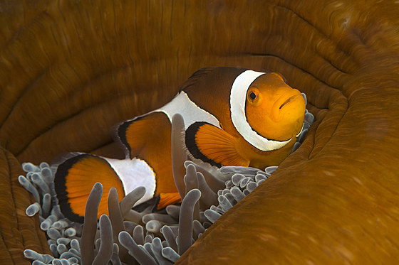 Orange-Ringel-Anemonenfisch / Clown Anemonefish / Amphiprion ocellaris
