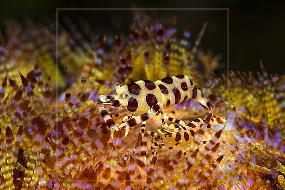 Partnergarnelen eines Feuerseeigel / Coleman Shrimp in Fire Sea Urchin / Periclimenes colemani