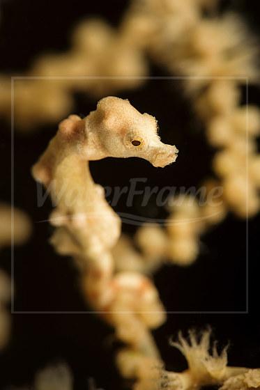 Denise Zwerg-Seepferdchen / Denise Pygmy Seahorse / Hippocampus denise