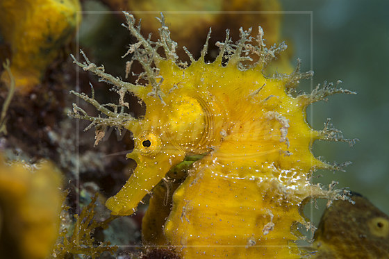 Langschnauzen-Seepferdchen / Long-snouted Seahorse / Hippocampus ramulosus