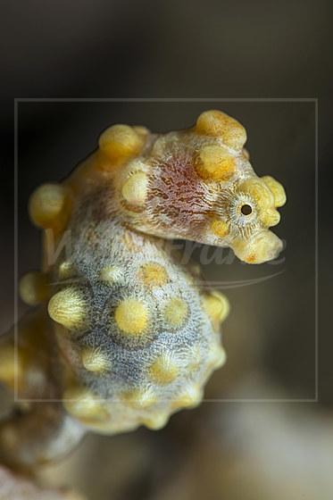 Bargibanti Zwerg-Seepferdchen / Bargibanti Pygmy Seahorse / Hippocampus bargibanti