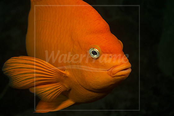 Garibaldifisch / Garibaldi Fish / Hypsypops rubicundus
