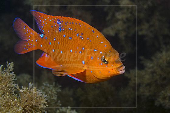 Juveniler Garibaldifisch / Juvenile Garibaldi Fish / Hypsypops rubicundus